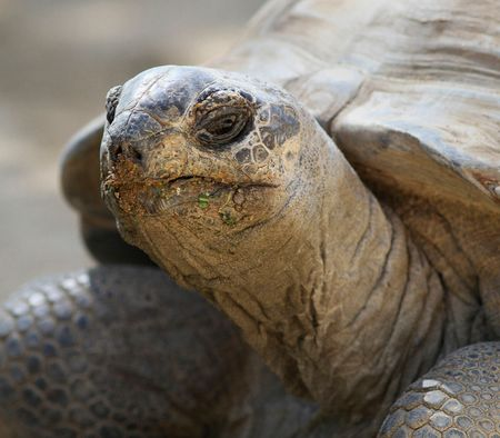cooter: The endangered Gopher Turtle. Crystal River Florida Stock Photo