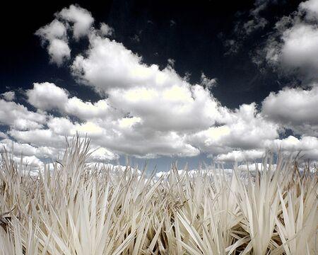 Infared Grass against a Florida sky
