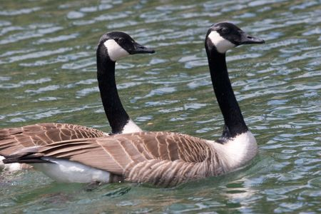 mated: Mated for life, two Canada Geese swim together.