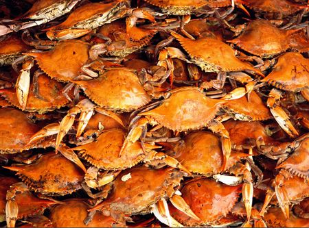 Steamed blue crabs fresh from Marylands Chesapeake Bay