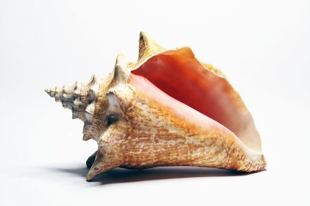 shell fish: Beautiful large conch shell isolated on white Stock Photo