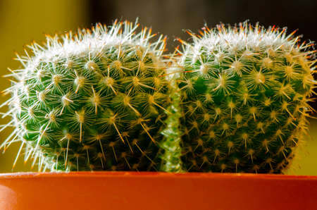 potted plant cactus: Two potted cacti side by side in the sun Stock Photo