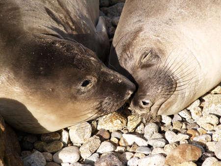 Harbor Seals Point Reyes Nationa Seashore