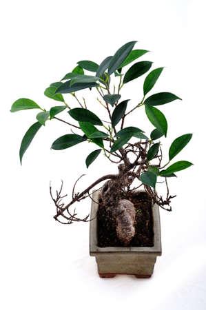 Bonsai tree on the white background