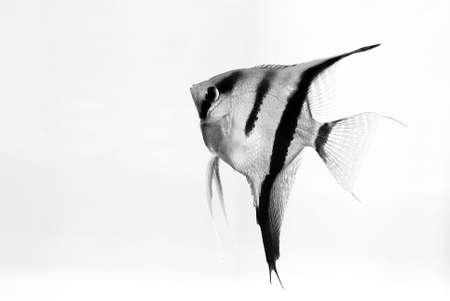 peces de acuario: Peces de acuario en el fondo blanco Foto de archivo