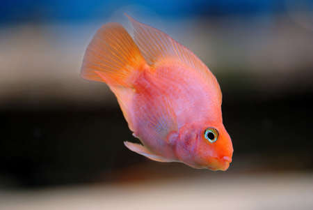 blood parrot: Gold fish