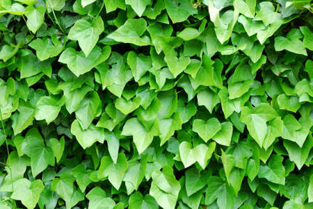 ivy Stock Photo - 5109997