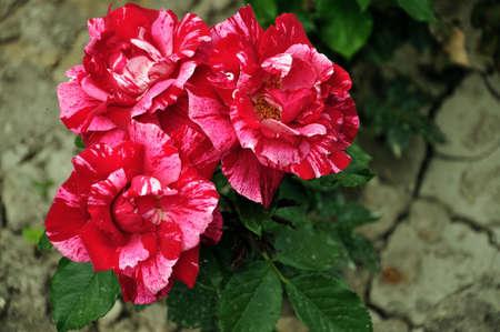 roseleaf: Red rose on the flowerbed