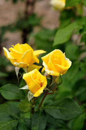Yellow rose in selective focus