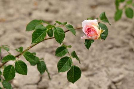 Rosebush, flower garden Stock Photo