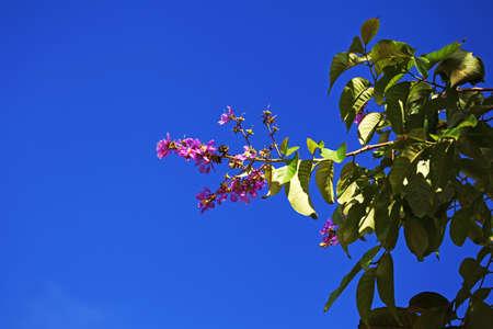 annonaceae: Cananga