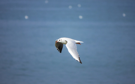 wingspan: Flying Seagull over blue water Stock Photo