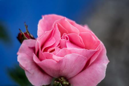 Beautiful pink rose hiding in the village side streets 版權商用圖片