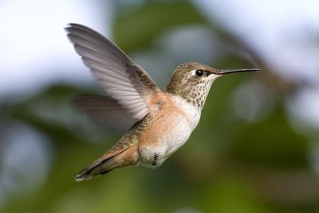 rufous: A rufous hummingbird hovering Stock Photo