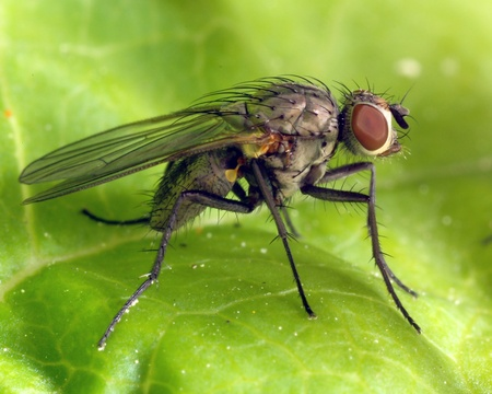 redeye: A closeup of a fly relaxing on a green leaf Stock Photo