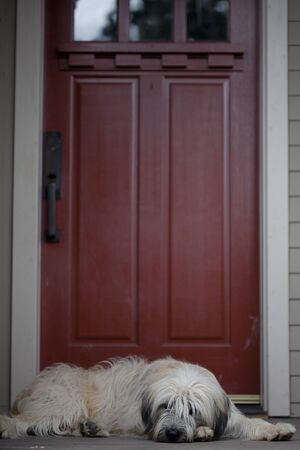 front porch: A lazy dog sitting on a front porch with a red door