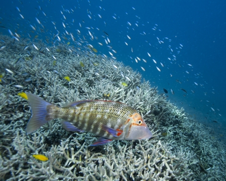 A colorful grouper swimming over a coral reef near Heron Island.