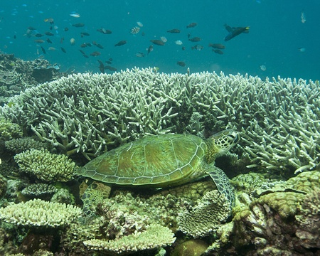 barrier: A green sea turtle resting on a coral reef near Heron Island Stock Photo