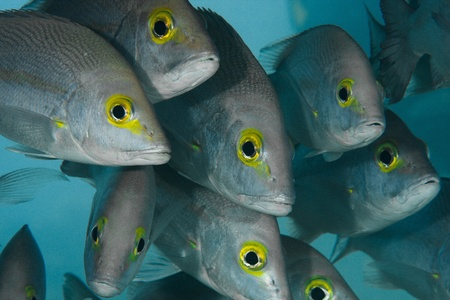 A group of curious fish with beautiful yellow eyes. photo