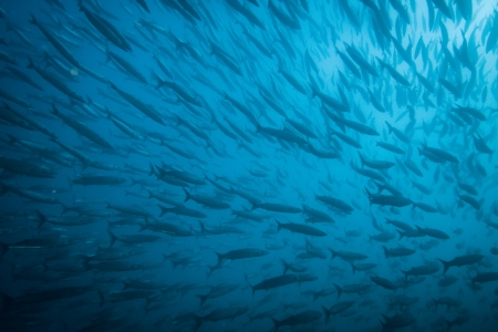 A huge school of baracuda. photo