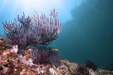 Colorful reef with purple coral and fish in the Gulf of California near La Paz Mexico  Stock Photo
