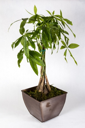 jade plant: A potted money tree isolated on a white background
