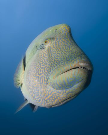 cheilinus undulatus: A giant wrasse in the coral sea curiously watching the photographer  Stock Photo