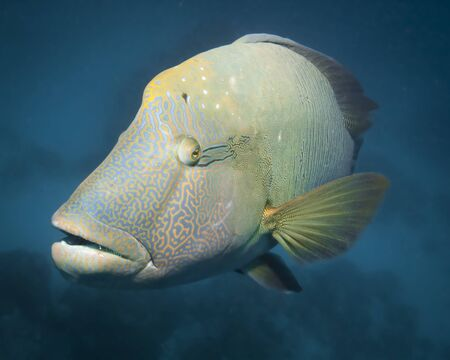 A giant wrasse in the coral sea curiously watching the photographer  Stock Photo