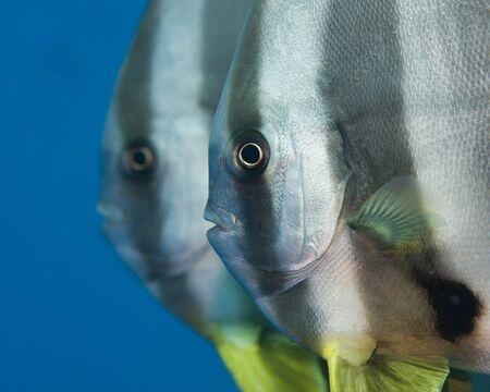 coral sea: A pair of tallfill batfish swimming in the Coral Sea