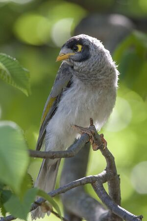 curiously: A beautiful noisy miner sitting in a tree looking curiously at the photographer