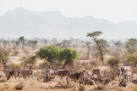 Animals in the wild - Large herd of Oryxes in Samburu National Reserve, North Kenya