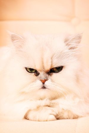 Persian cat with white wool, intently looks Stock Photo