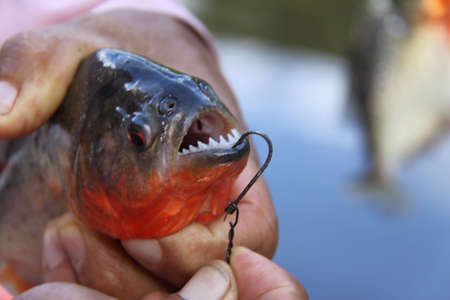 Red Belly Piranha Peruvian Amazon photo