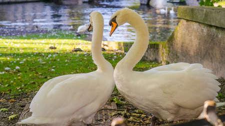 Belgium, Brugge, Begijnhof, Couple swans on the shore in love dance, to Minnehof VOF