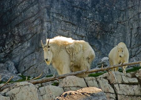Mountain Goats Kid and Adult