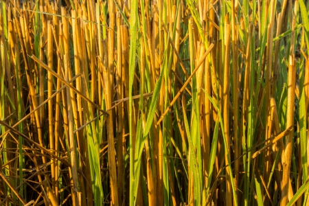 Straw have dew on morning sun light photo