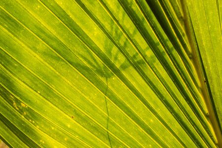 Coconut leaf for background is back sun light photo