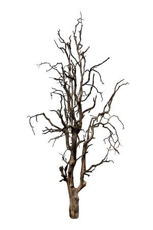 古い、死んだ木の白い背景で隔離