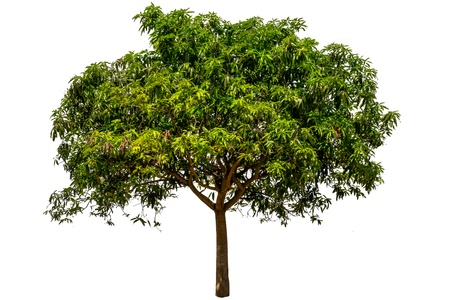 mango tree: Mango tree  Mangifera indica ,tropical tree in the northeast of Thailand,Isolated 0n white background Stock Photo