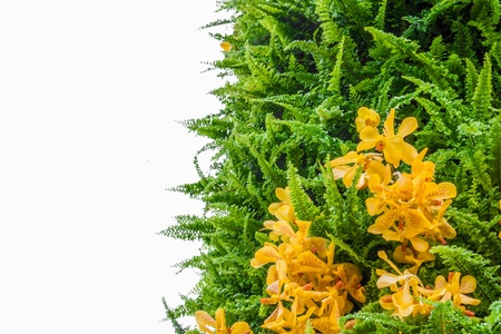 ferns and orchids: Fern leaf and yellow orchid,Isolated on white background Stock Photo