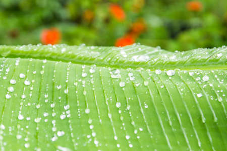 Water of rain on banana leaf photo