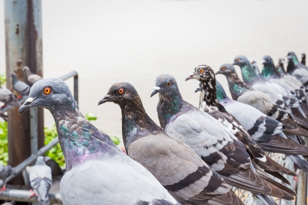 Tauben Vogel suchen ist Zeile Standard-Bild - 22914833