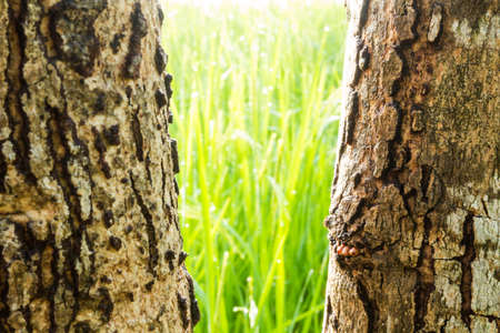 Bark tree in front rice field photo