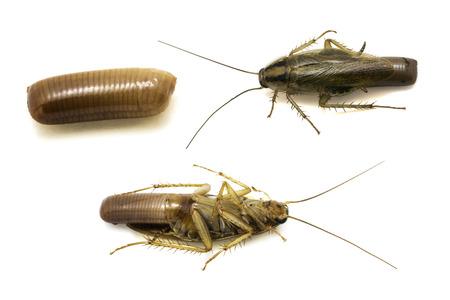 チャバネゴキブリ チャバネゴキブリ チャバネゴキブリ妊娠白で隔離されるを閉じます