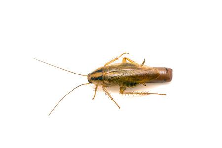 チャバネゴキブリ成虫のドイツ語ゴキブリ妊娠白で隔離を閉じる