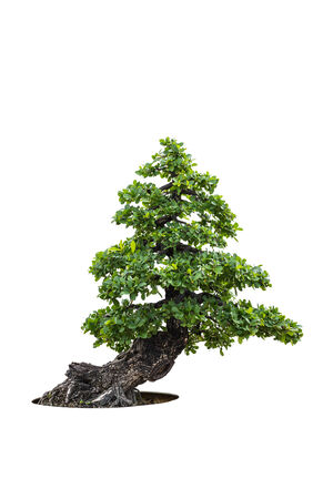 botan: Bonsai trees isolated on white