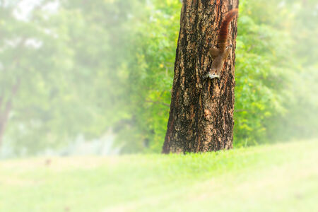 A brown Squirrel, climbing down a tree with room for your text. photo