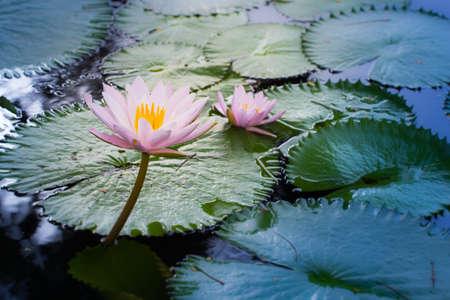 natur: Beautiful lotus petal of natur