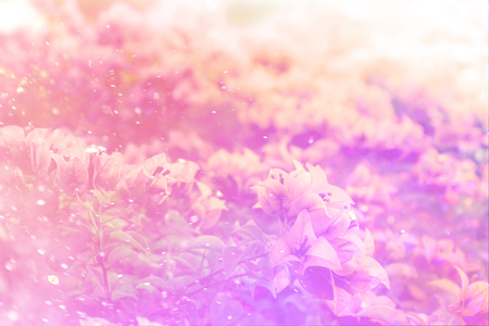 color bougainvillea: Pink bougainvillea blooms in soft color and blur style for background