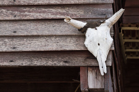 cow skull: Old weathered cow skull on wood wall